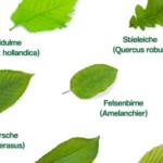 Blattformen einheimischer Laubbäume